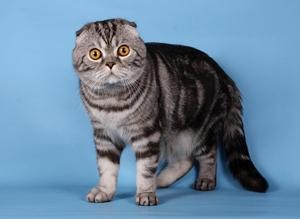Цвета шотландских вислоухих котов