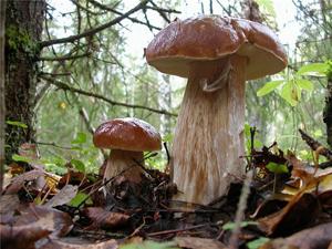Где можно собирать грибы