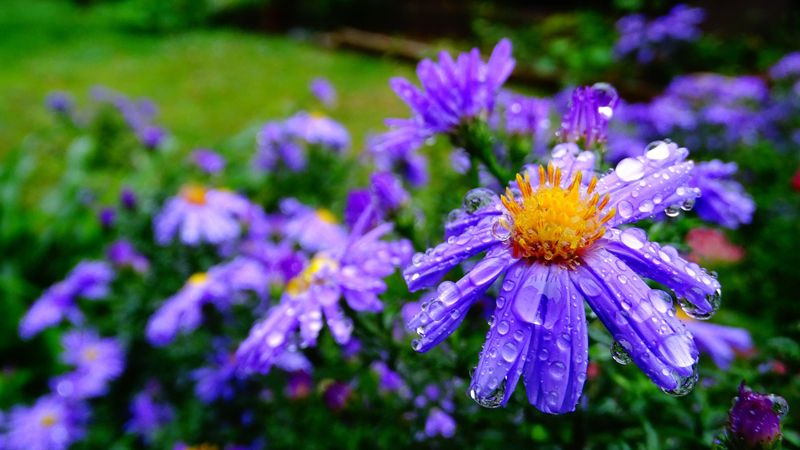 Цветок Брахикома