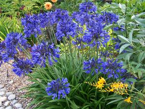 Агапантус в саду