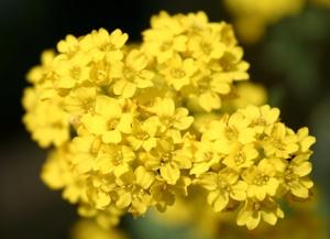 Цветок Алиссум (Бурачок)