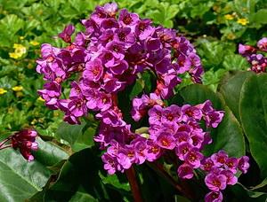 Цветок Бадан