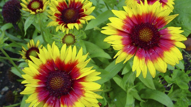 Цветок Гайлардия