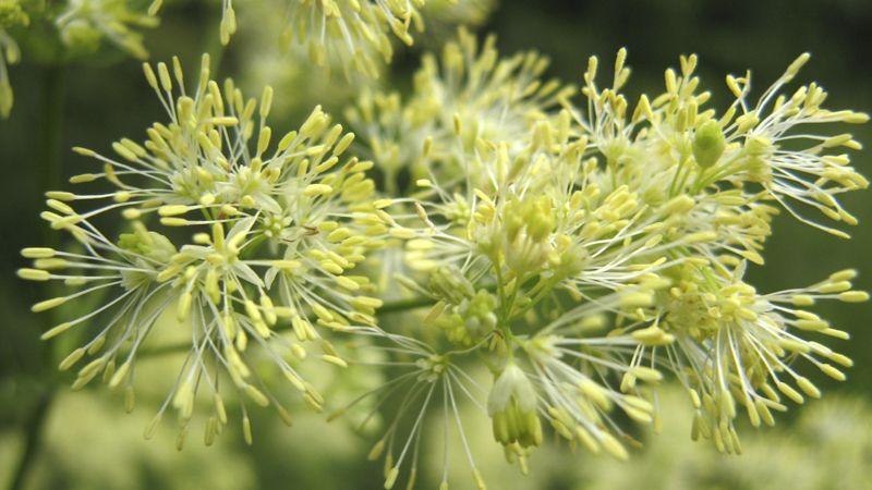 Растение Василистник