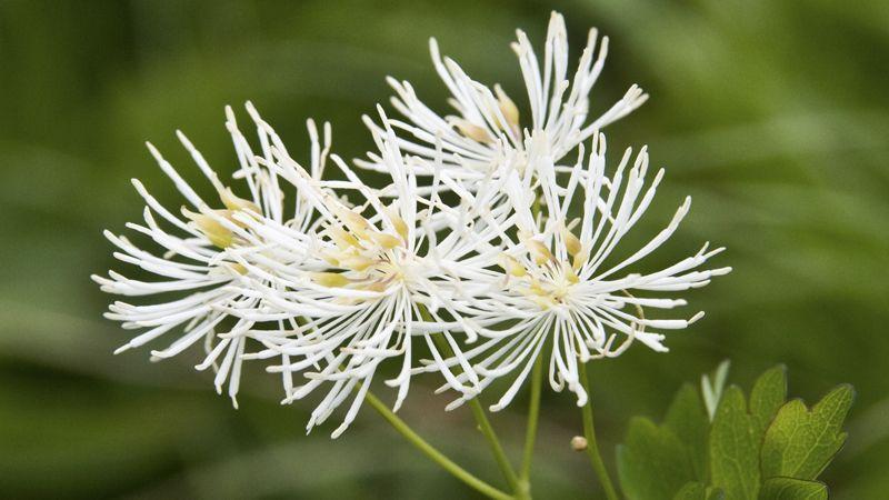 Цветок Василистник