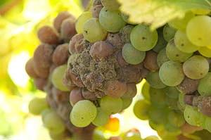 Серая гниль - болезнь винограда