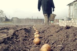 Как посадить картошку вручную