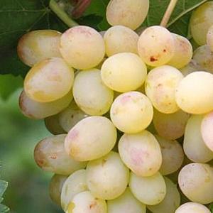 Ранние сорта столового винограда