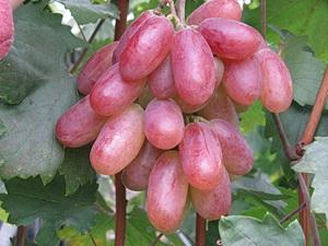Столовый сорт винограда Юбилей Новочеркасска