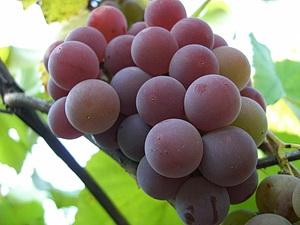 столовые сорта винограда описание и фото